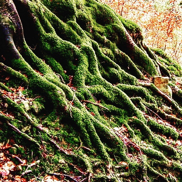 Photograph of Ancient tree trunks at Horner Wood by Phillipa Beale